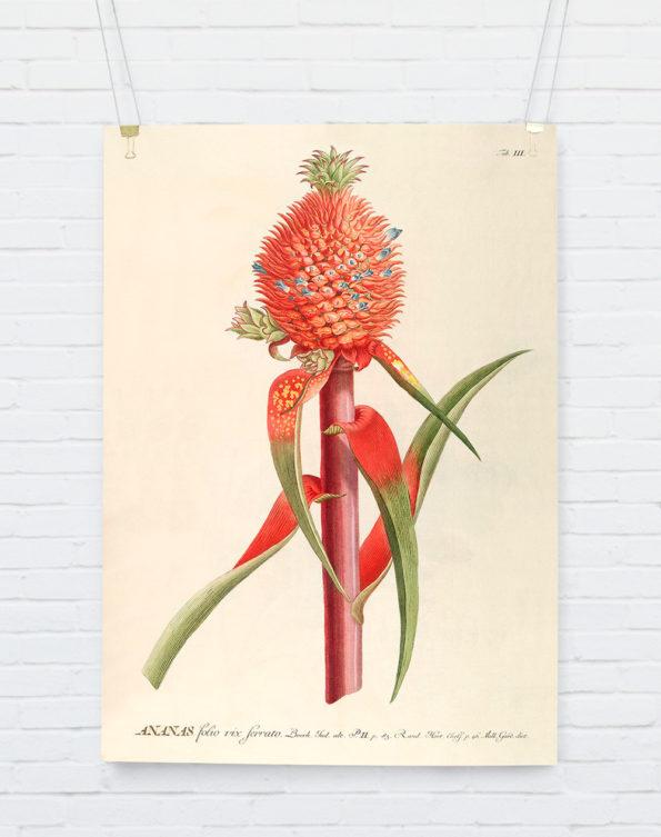 Ananas Red. Plantae Print