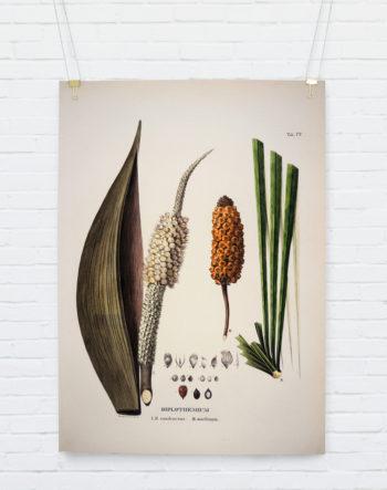 diplothemium-caudescens-maritimum_hangingposter