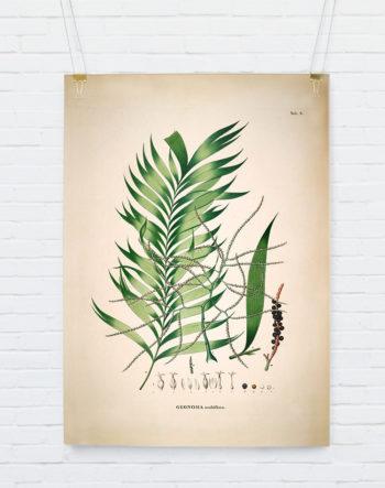 geonoma-multiflora_hangingposter