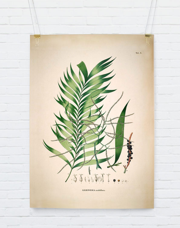 Geonoma Multiflora. Botanical Palm Print