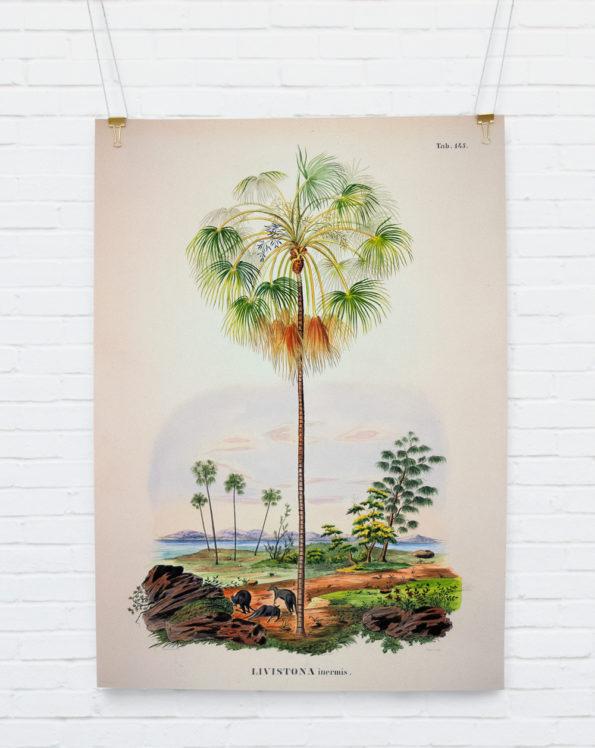 Livistonia Inermis Botanical Palm Print