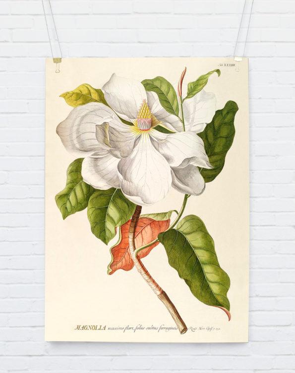 Magnolia Plantae Print 70x100cm