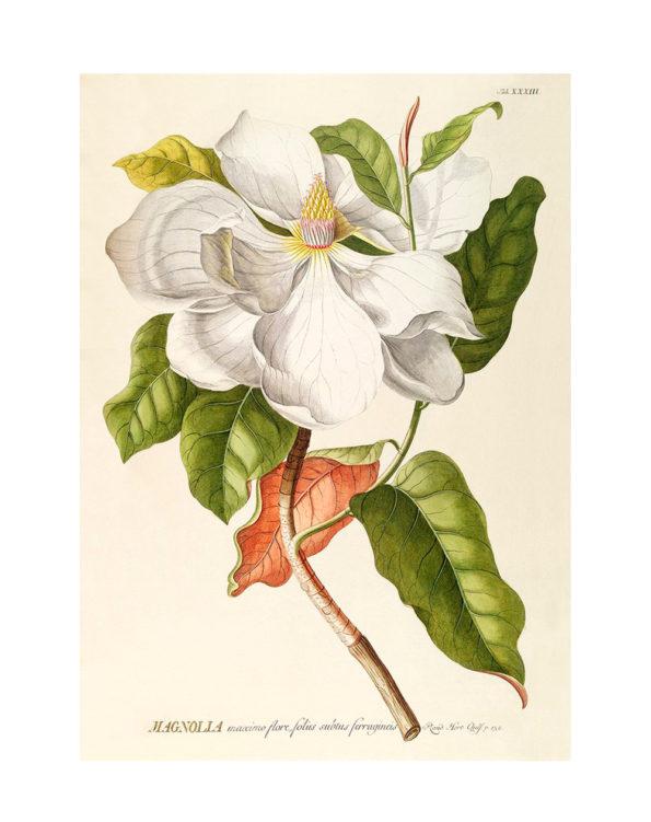 magnolia_print