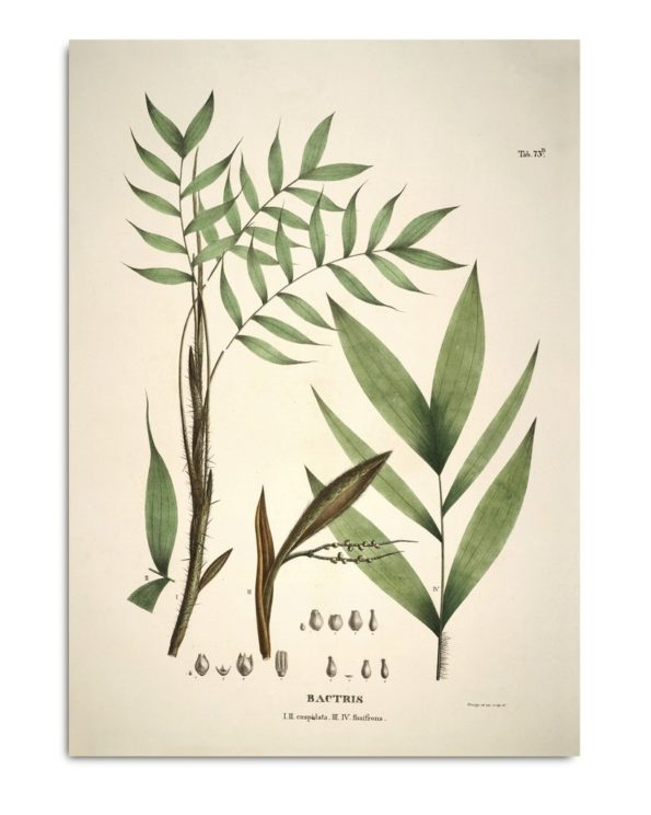 BACTRIS CUSPIDATA & FISSIFRONS BOTANICAL PALM PRINT