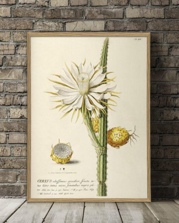 Cereus Plantae Print 50x70cm